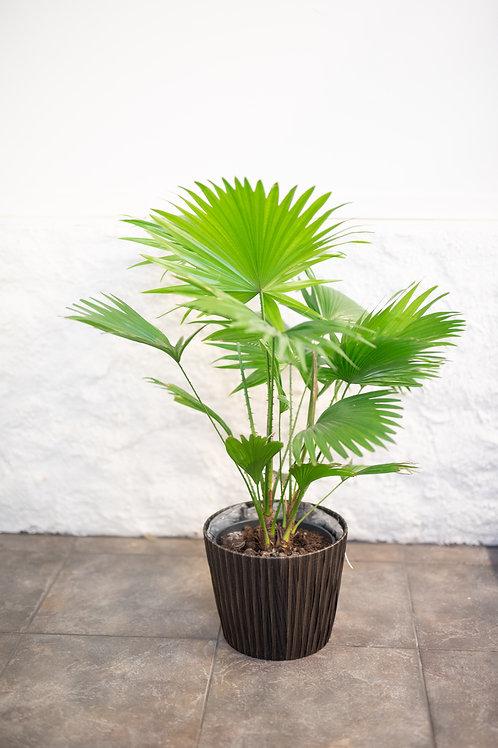 Sädepalmu (Livistona rotundifolia)
