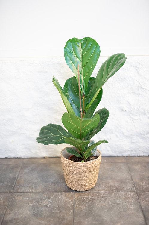 Lyyraviikuna (Ficus Lyrata)