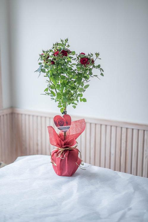 Runkoruusu punainen