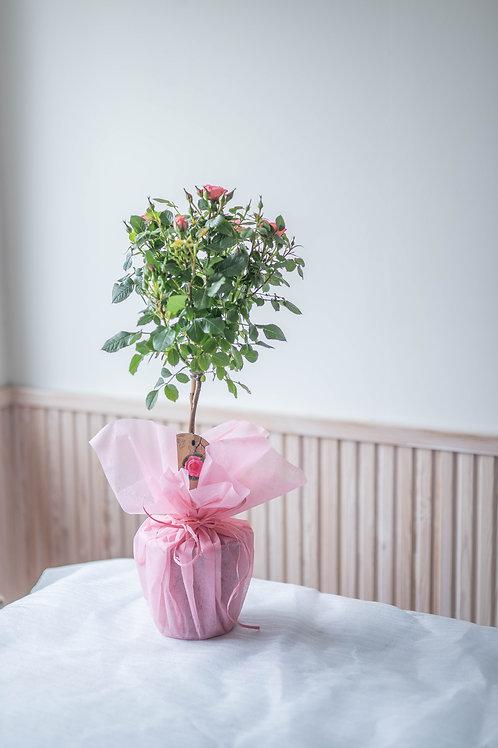 Runkoruusu vaaleanpunainen