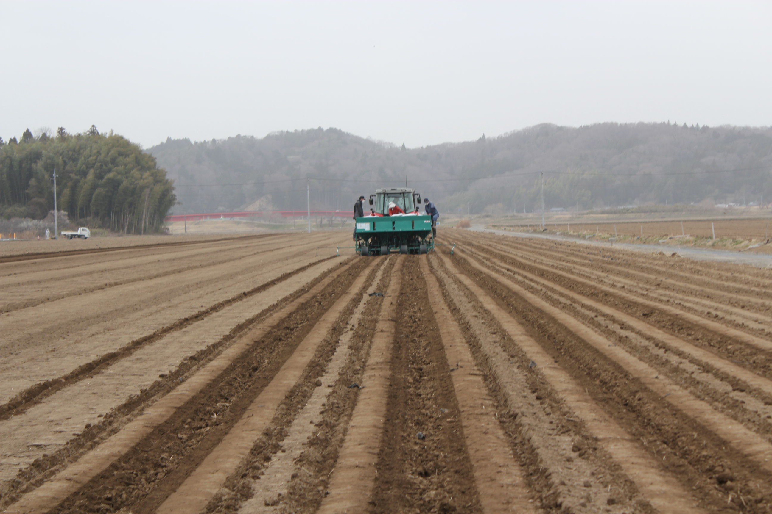 seeding potatoes