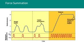 Aktivasyon Sonrası Potansiyasyon, Aktivasyon Sonrası Performans Artışı (PAP vs PAPE)...PAP-I