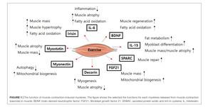 Miyokinaz Regulasyonu - Kas kütlesi ve Fonksiyonu