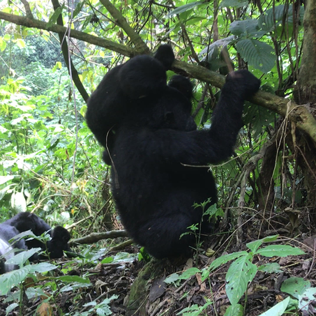 The family life of gorillas....a snapshot from The Bwindi Impenetrable National Park in Uganda