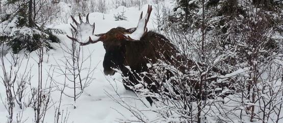 Охота на лося.jpg