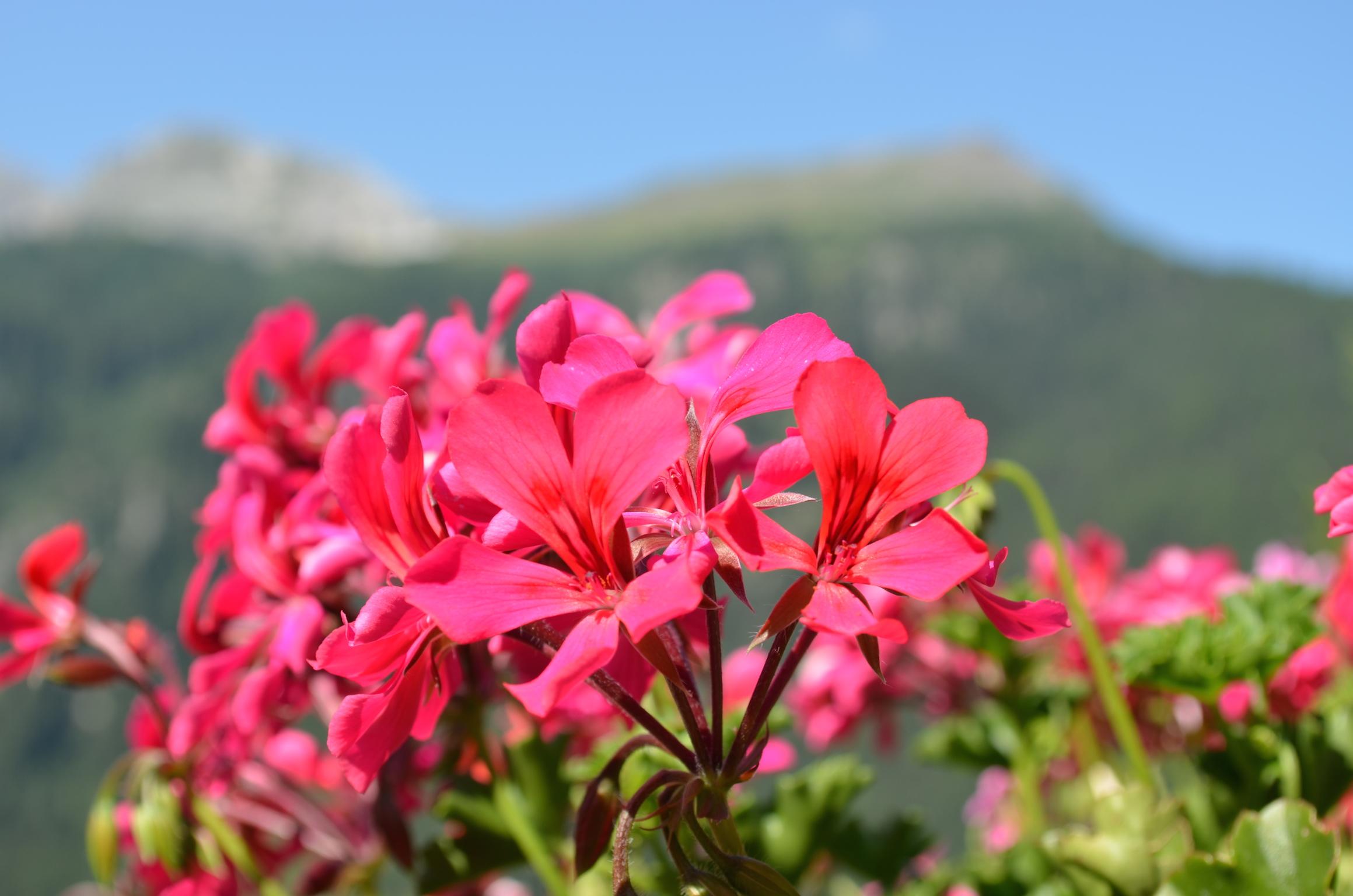 Geranium montagne