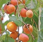 American-Persimmon-Tree-2-450w_grande.we