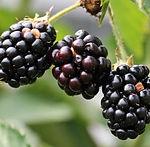 Blackberry_Fruit_large_edited.jpg