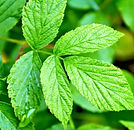 Benefits-of-red-raspberry-leaf-tea_edite
