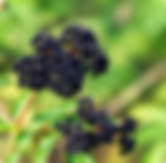Elderberry_Seeds.webp