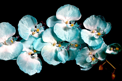 Lime Blue Cheap Orchid