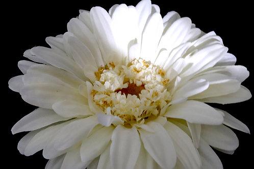 "Giant Daisy Flower Cream 42"""