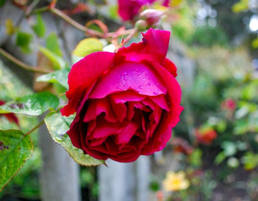 Rare Rose Rediscovered on Alcatraz 30 Years Ago Teaches Resilience Today