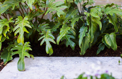Xanadu - Thaumatophyllum xanadu