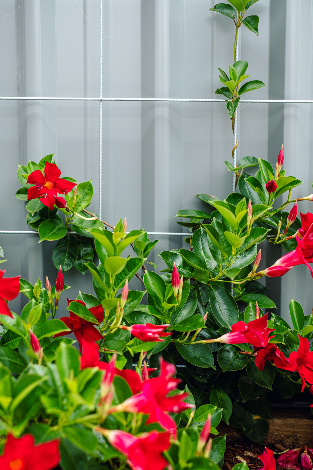 Mandevilla disguises the fence