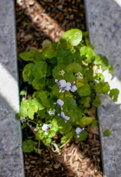 Native Violet - viola hederacea