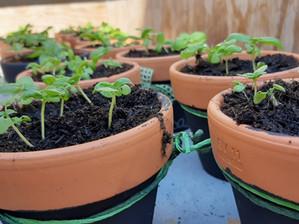 Basilico: coltivazione e consigli