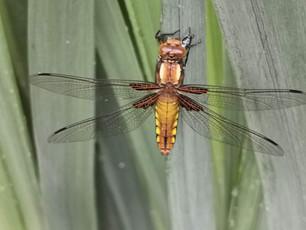 La libellula depressa