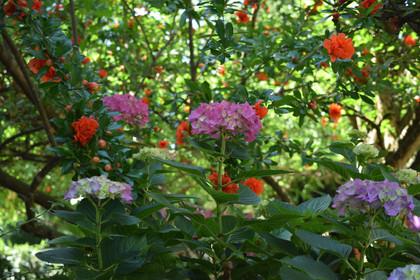 Hydrangea macrophylla - Punica granatum