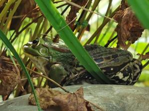Dal punto di vista della rana
