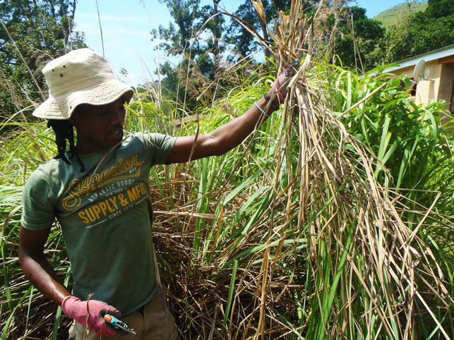 Vusi harvesting Lemongrass