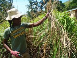 Vusi harvesting Lemongrass