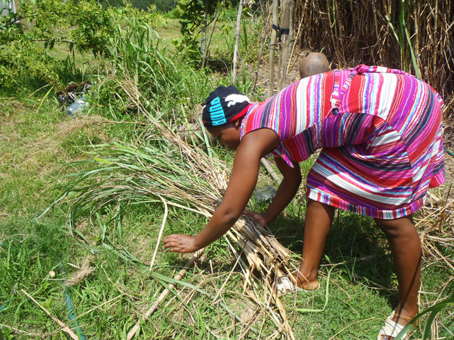 Pam harvesting Lemongrass