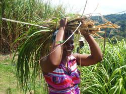 Pam harvesting Lemongrass