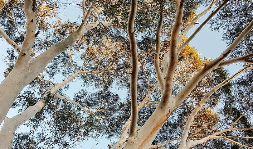 Stock_eucalyptus view.jpg