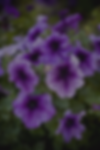 best-annual-flowers-petunias-1521752646.