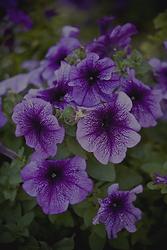 best-annual-flowers-petunias-1521752646.