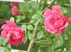 Rose DC.png