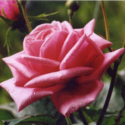 rose NY.jpg
