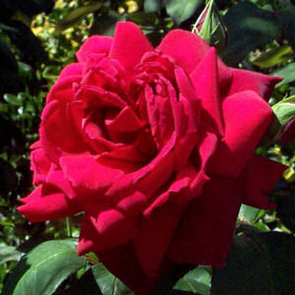oklahoma_rose OK.jpg