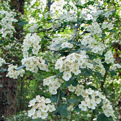 hawthorn_blossom1 MO.jpg