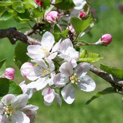 apple_blossoms MI.jpg