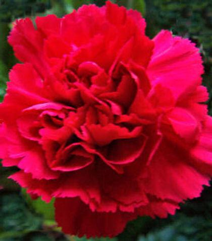 scarlet_carnation OH.jpg