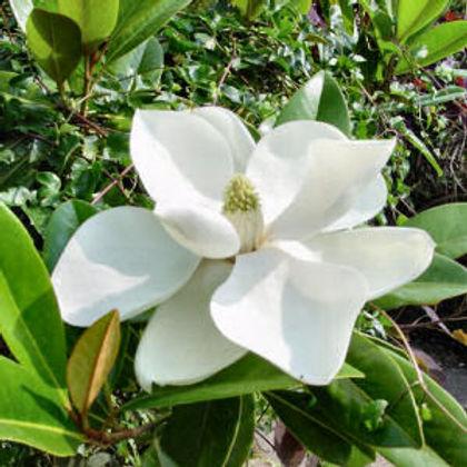 magnolia_grandiflora MS.jpg