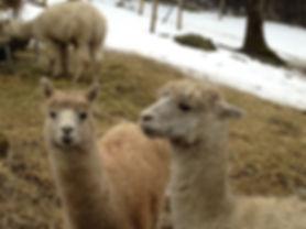 Alpaca_March_2013.JPG