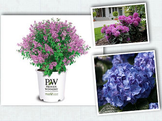 Proven winners color choice shrubs