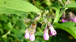Beinwell-Blüten