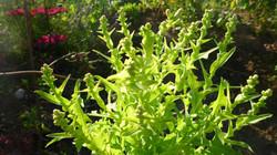 Salat kurz vor Blüte