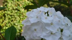 weißer Phlox