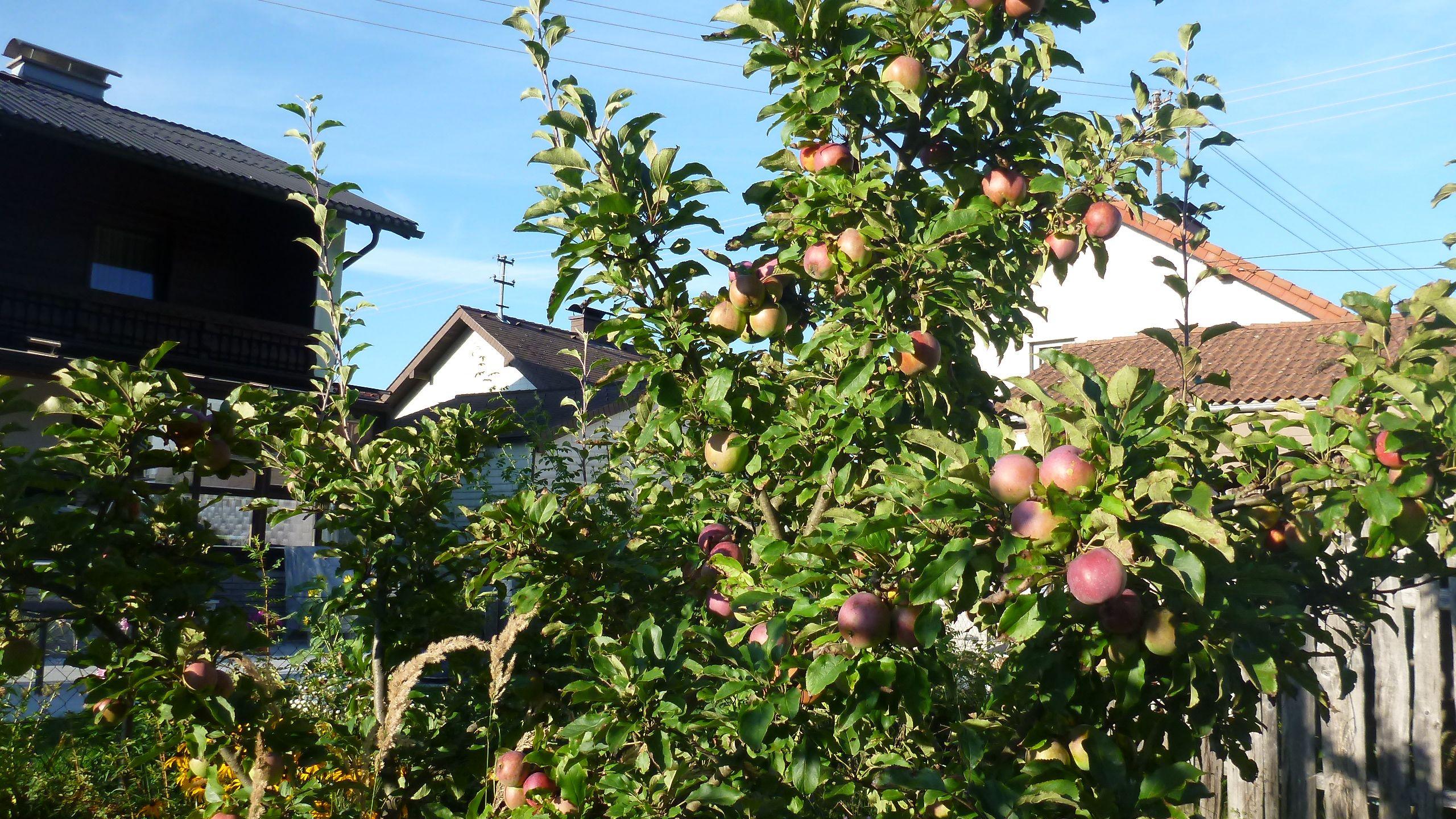 erste Äpfel