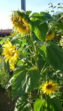 mehrblütige Sonnenblume