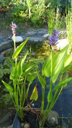 Teichpflanze