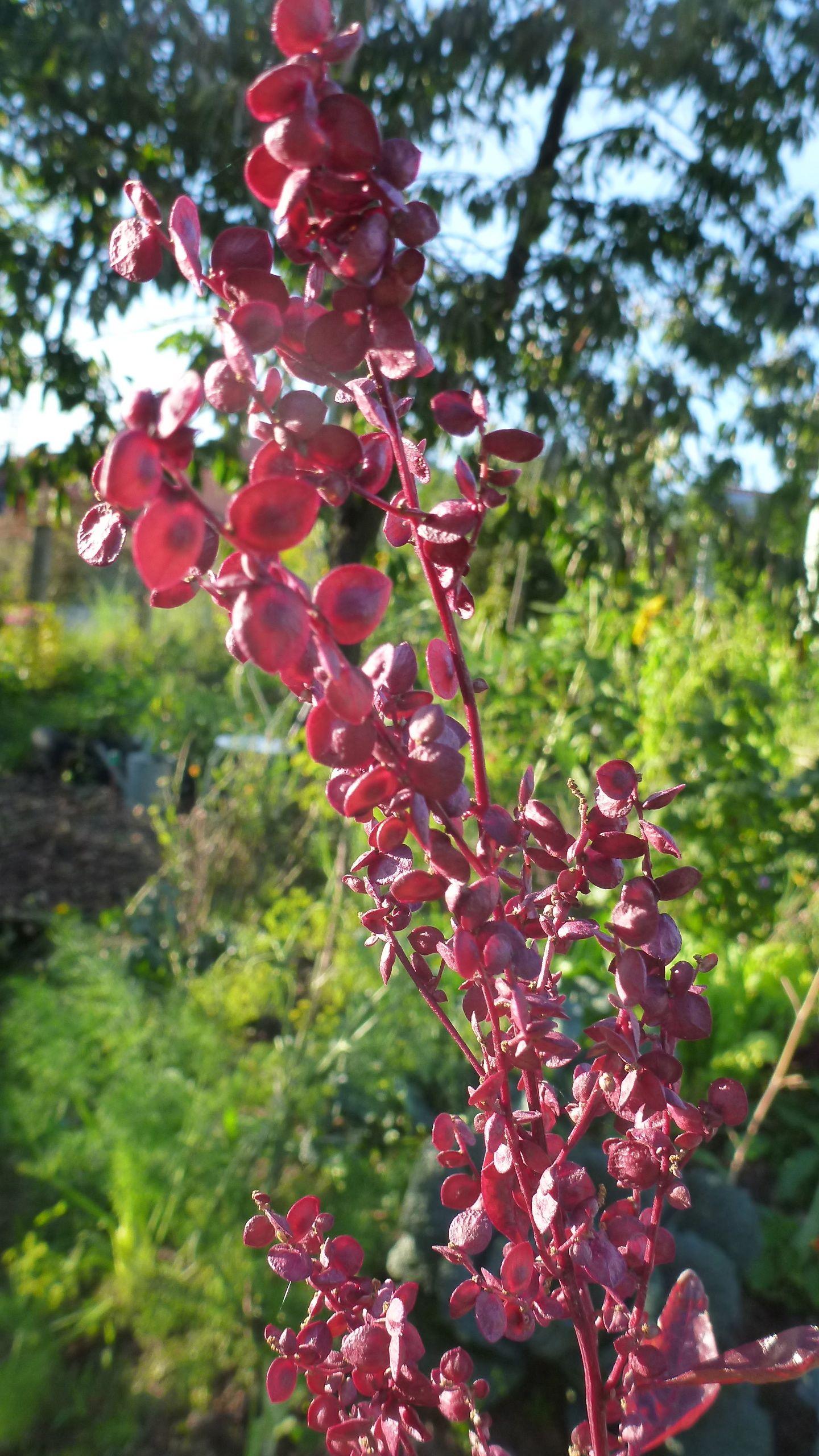 Rote Melde mit Samen