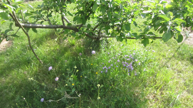 Wiesenknopfblumen