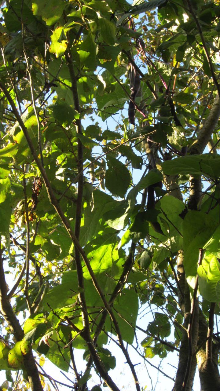 Bohnen wachsen bis in die Bäume