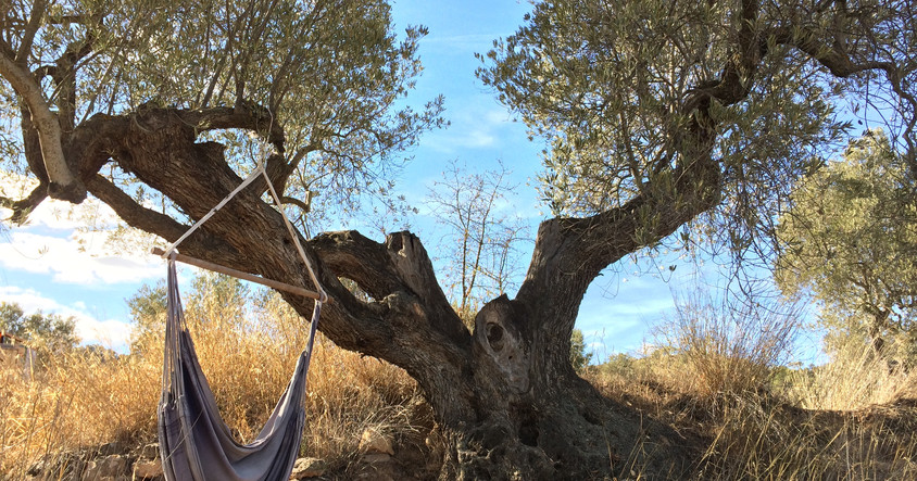 """einer unserer """"Lieblings-Olivenbäume"""""""